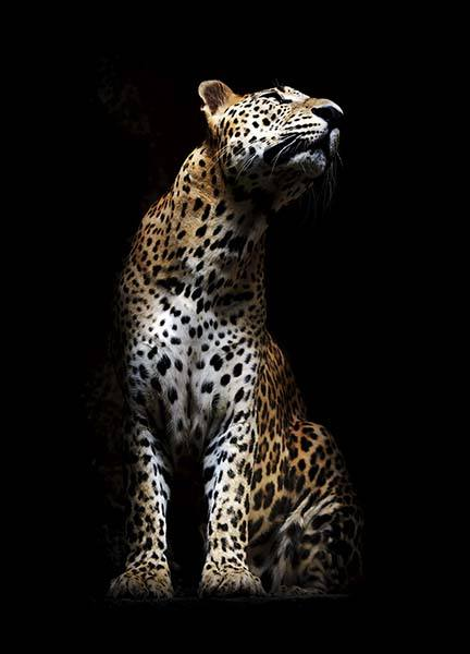 Leopard In Light Poster in the group Prints / Photographs at Desenio AB (10404)