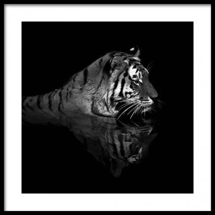 Tiger in Water Poster in the group Prints / Photographs at Desenio AB (11688)