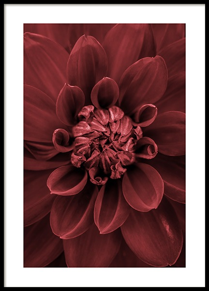 Red Dahlia Poster in the group Prints / Photographs at Desenio AB (11790)