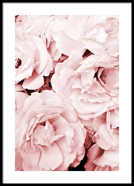 Close Up Pink Roses Poster in the group Prints / Photographs at Desenio AB (11793)