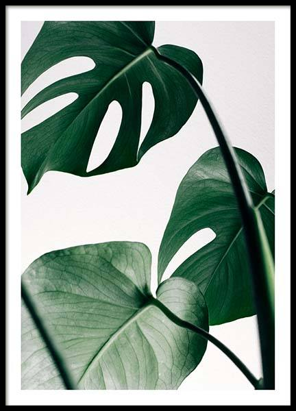 Monstera Three Poster in the group Prints / Photographs at Desenio AB (8722)