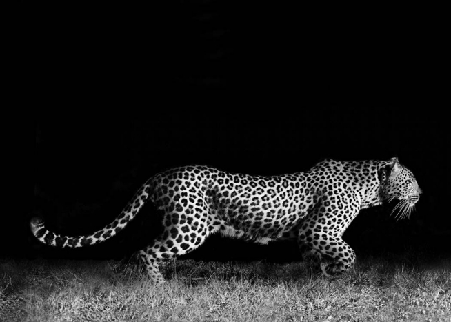 - Beautiful black and white animal poster showing a side view of an African Leopard on the move.
