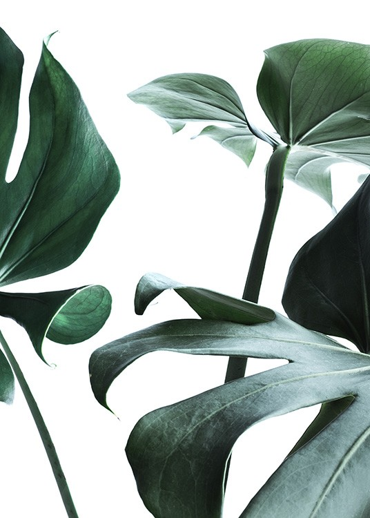 – Photograph of big monstera leaves in green against a white background