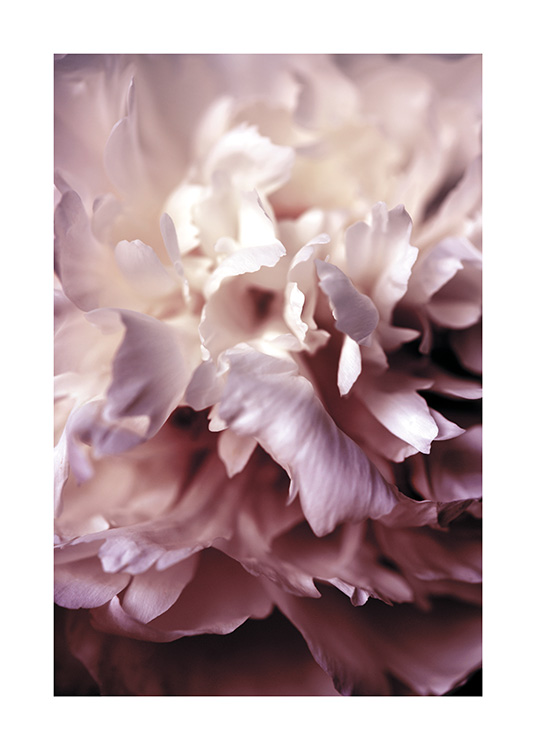 Peony Close Up Poster / Photographs at Desenio AB (11186)