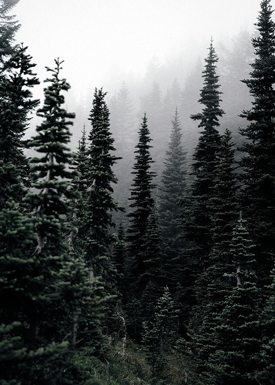 - Great nature photo poster with a foggy pine forest.
