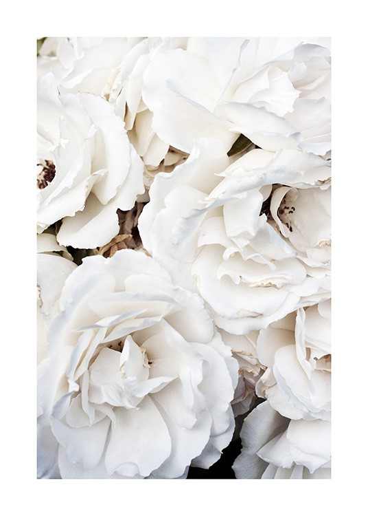 – Photograph of large, white roses in a bunch
