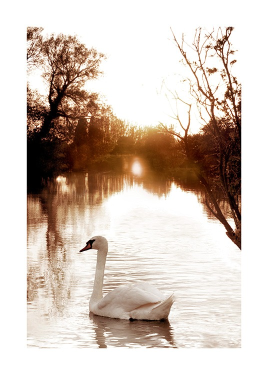Swan on River Poster / Photographs at Desenio AB (11852)