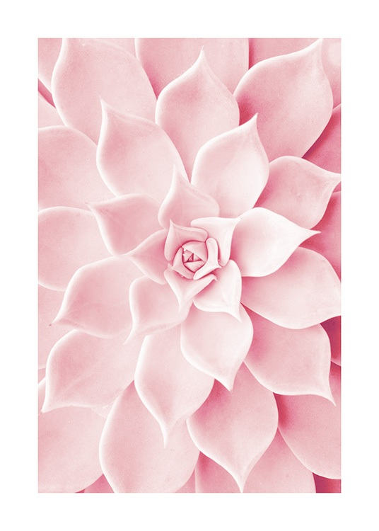 Pink Succulent Poster / Photographs at Desenio AB (12021)