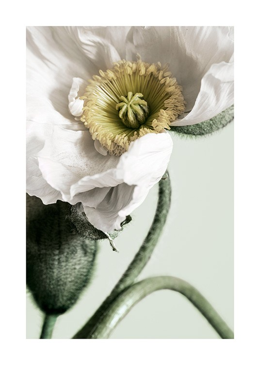 White Poppy Close Up Poster / Photographs at Desenio AB (12319)