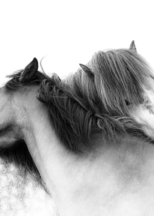 Photograph of two white horses with their necks wrapped around each other