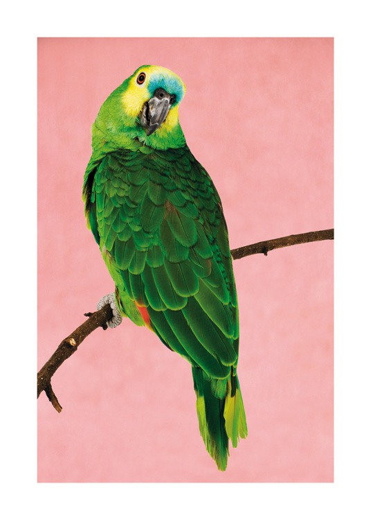 – Photograph of a green parrot with a yellow and blue head, sitting on a branch against a pink background