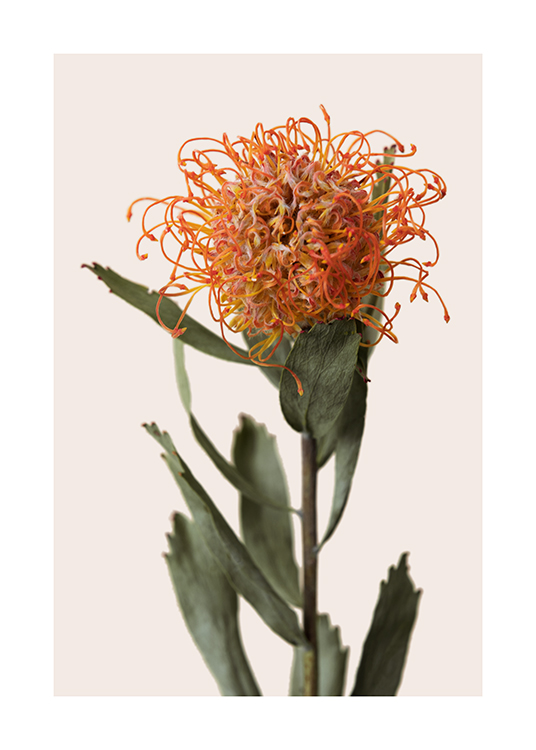 – Photograph of a protea with an orange flower and green leaves against a light beige background