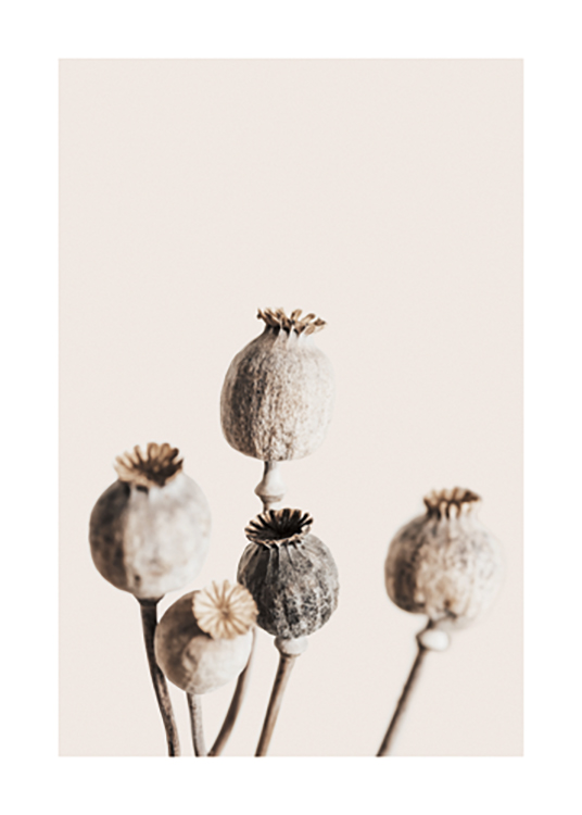 – Photograph of a bunch of dried poppy heads in brown and beige, against a background in light beige