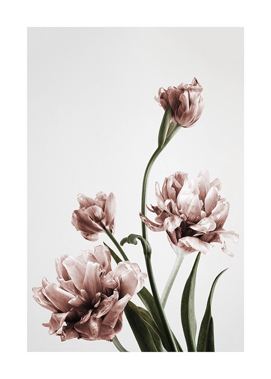 – Photograph of a bunch of pink tulips in full bloom against a grey background